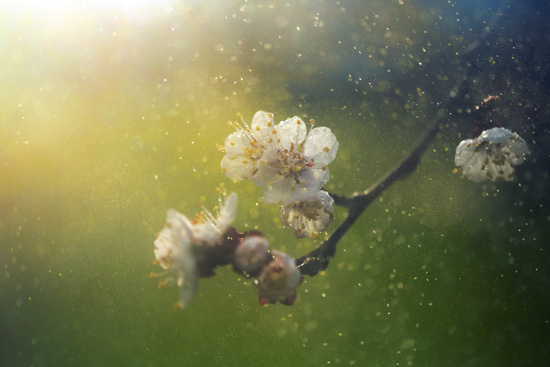 A beautiful blossom giving off a fine mist of pollen.