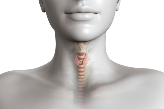 A medical diagram illustrating the location of the thyroid gland.